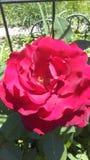 达可它红色玫瑰 图库摄影