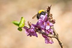 达夫妮mezereum桃红色花与土蜂的 图库摄影