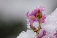 达夫妮mezereum,一般叫作2月daphne,开花的后部 图库摄影