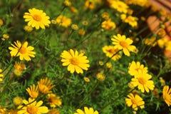 达尔伯格雏菊的领域在庭院里 免版税库存照片