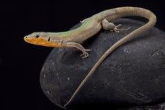 达尔马希亚墙壁蜥蜴, Podarcis melisellensis fiumana 免版税库存图片