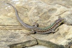 达尔马希亚墙壁蜥蜴 免版税库存照片