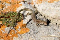 达尔马希亚墙壁蜥蜴 免版税库存图片