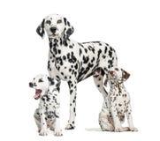 达尔马希亚妈妈和小狗,隔绝在白色 免版税库存图片