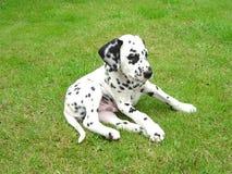达尔马希亚小狗,很逗人喜爱 免版税库存图片