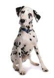 达尔马希亚狗 免版税库存图片