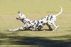 达尔马希亚狗 免版税图库摄影