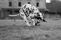 达尔马希亚狗 图库摄影