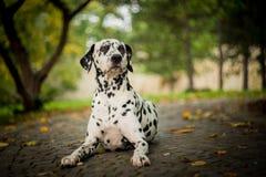 达尔马希亚狗 免版税库存照片
