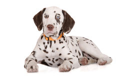达尔马希亚纵向小狗 免版税库存图片