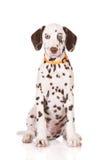 达尔马希亚纵向小狗 免版税库存照片