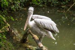 达尔马希亚鹈鹕在看照相机的日志栖息 免版税库存照片