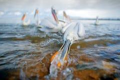 达尔马希亚鹈鹕, Pelecanus crispus,在湖Kerkini,希腊 与开放翼的Palican,寻找动物 从欧洲的野生生物场面 图库摄影