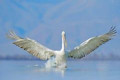 达尔马希亚鹈鹕, Pelecanus crispus,在湖Kerkini,希腊 与开放翼的Palican,寻找动物 从欧洲的野生生物场面 库存图片