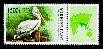 达尔马希亚鹈鹕(Pelecanus crispus),鸟serie,大约1996年 免版税图库摄影