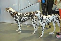 达尔马提亚狗二 免版税库存照片