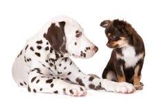 达尔马提亚狗和奇瓦瓦狗小狗 库存照片