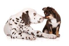 达尔马提亚狗和奇瓦瓦狗小狗 库存图片