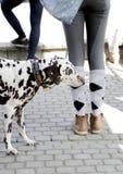 达尔马提亚狗和样式 免版税库存图片