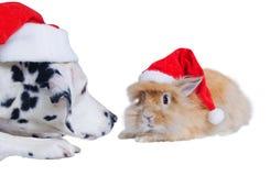 达尔马提亚狗帽子兔子圣诞老人嗅 免版税图库摄影