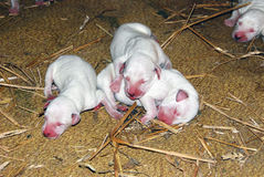 达尔马提亚狗狗 免版税库存照片