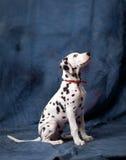 年轻达尔马提亚狗 免版税库存照片