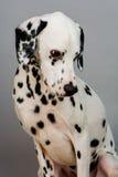达尔马提亚狗 免版税库存照片