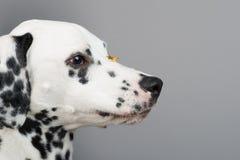 达尔马提亚狗 库存照片