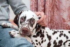 达尔马提亚狗 免版税库存图片