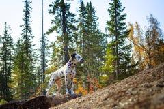 达尔马提亚狗 免版税图库摄影