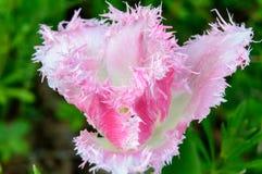 达拉斯在白色和桃红色的郁金香开花 库存图片