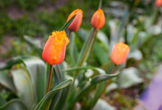 达文波特郁金香 花郁金香背景 红色和黄色郁金香美丽的景色在阳光风景下的在spri中部  免版税库存图片
