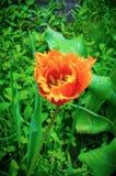 达文波特郁金香 花郁金香背景 红色和黄色郁金香美丽的景色在阳光风景下的在spri中部  免版税库存照片
