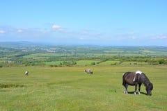 达特穆尔小马,在Whitchurch共同性,达特穆尔国立公园,德文郡,英国 免版税图库摄影