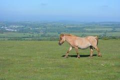 达特穆尔小马,在Whitchurch共同性,达特穆尔国立公园,德文郡 免版税库存图片