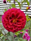 达莉亚红色花自然印度庭院 免版税库存照片