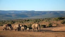 迁徙大象的牧群 免版税库存照片