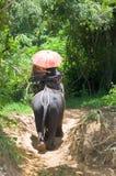 迁徙通过密林的大象在北碧,泰国 大象乘驾是有吸引力的 免版税库存图片