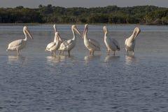 迁移在墨西哥白色鹈鹕的水禽 免版税图库摄影