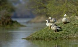迁移酒吧带头的鹅被看见在bharatpur 免版税图库摄影