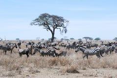 迁移斑马干草大草原坦桑尼亚 免版税库存图片