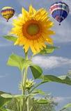 迅速增加向日葵 库存图片