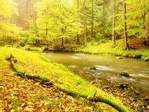 迅速小河的五颜六色的秋天河岸,在老山毛榉和槭树下 库存照片