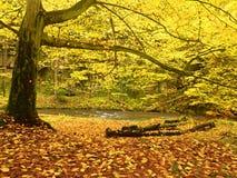 迅速小河的五颜六色的秋天河岸,在老山毛榉和槭树下 免版税图库摄影