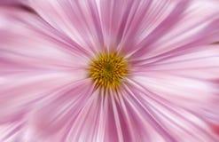 迅速移动的桃红色雏菊 免版税库存照片
