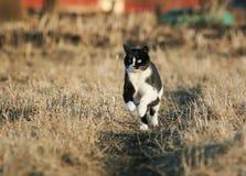 迅速跑通过在t的晴朗的春天路的美丽的猫 库存图片