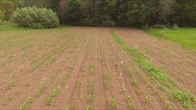 迅速飞行对在玉米和草甸上的领域的边 股票录像