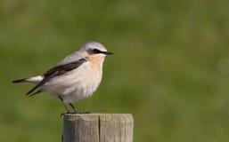 过帐麦翁之类的鸣禽 免版税库存照片