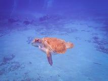 过来为空的库拉索岛景色的乌龟 免版税库存照片