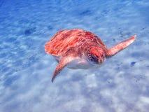 过来为空的库拉索岛景色的乌龟 库存照片
